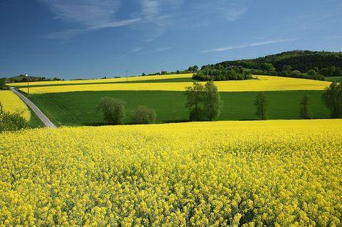 Etat de l'agriculture en Lorraine dans Agriculture champs-de-colza