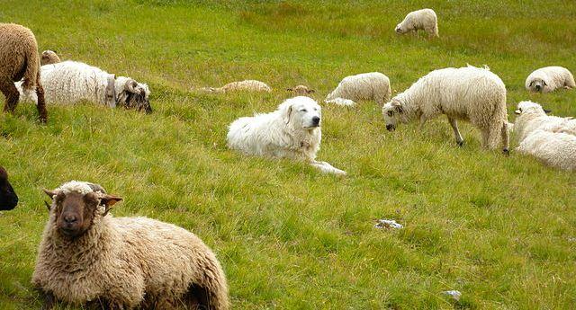 Le Patou veille sur les troupeaux du massif vosgien dans Actualité Patou-chien