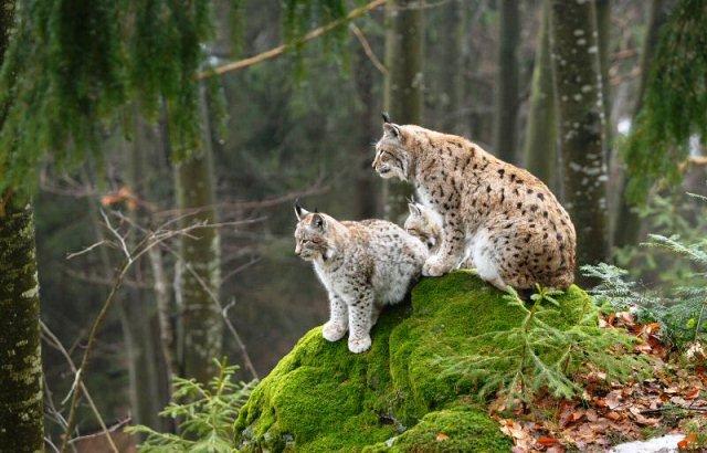 Le lynx est en danger dans les Vosges dans Environnement lynx