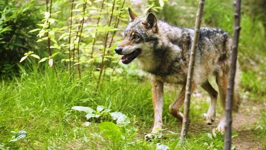 Un collier pour prévenir les attaques des loups dans Actualité