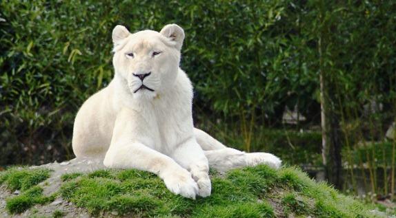 Des lions blancs au zoo d'Amnéville dans Actualité lion-blanc