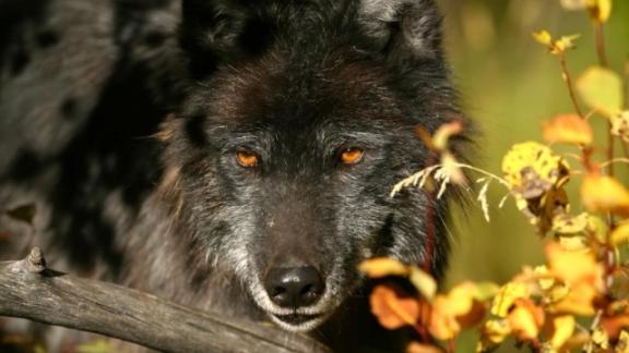 Les loups noirs Timberwolf arrivent à Sainte-Croix dans Actualité loup-noir-timberwolf