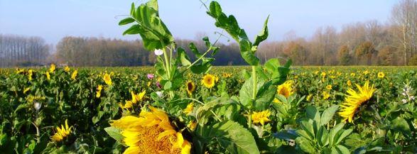 Agriculture : revenir aux sources avec le semis direct sous couvert végétal dans Actualité semis-direct