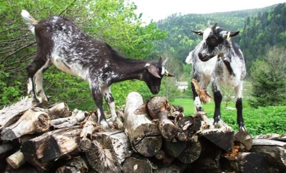 La chèvre de Lorraine enfin reconnue dans Actualité chevres-de-lorraine