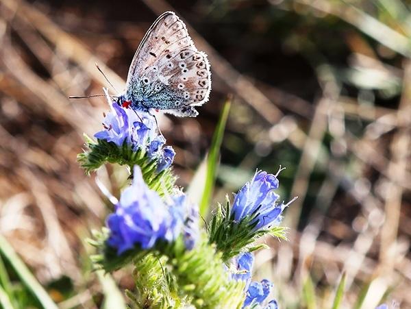 De la flore de Lorraine dans Actualité flore-lorraine-papillon