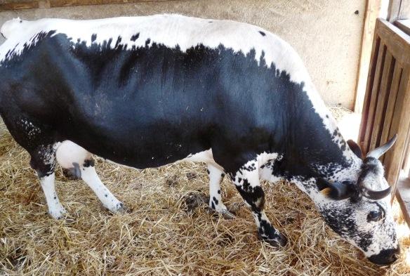 La recherche du génome pour sauver la vache vosgienne ? dans Actualité vache-vosgienne