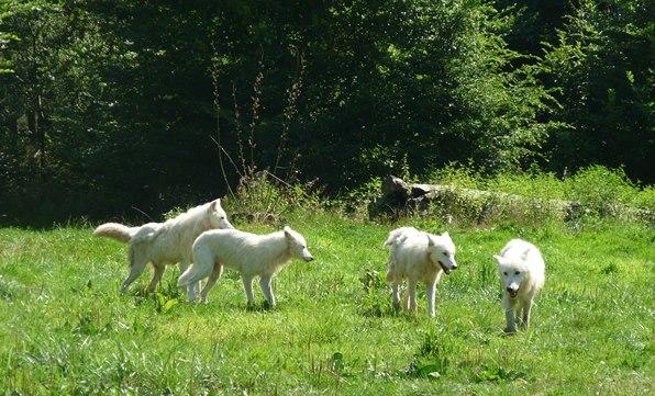 meute loups blancs Parc animalier Sainte-Croix