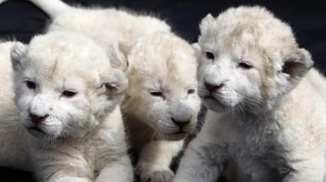 lionceaux blancs